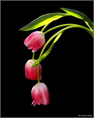 Take a Bow (West County Camera) Tags: friends tulips ngc oa greatphotographers mixedflowers photosandcalendar flowersarebeautiful platinumheartaward floraandfaunaoftheworld excellentsflowers mimamorflowers flickrflorescloseupmacros panoramafotogrfico thebestofmimamorsgroups tripleniceshot flickrsportal tplringexcellence artistoftheyearlevel3 artistoftheyearlevel4 artistoftheyearlevel5 eltringexcellence artistoftheyearlevel7 artistoftheyearlevel6 magicmomentsinyourlifelevel1 onlythebestofflickr