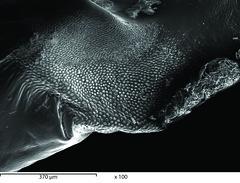 SP10_SEM-15_x100 (Studio Jonas Coersmeier) Tags: shells architecture studio design lab natural structures super electron sem scanning jonas microscope sense hardshells coersmeier