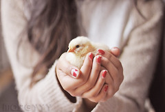 58 (margyyy) Tags: chicken canon 50mm holding hands chick rednails babychicken project365 2weekold