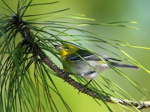 Pine Warbler 20100228