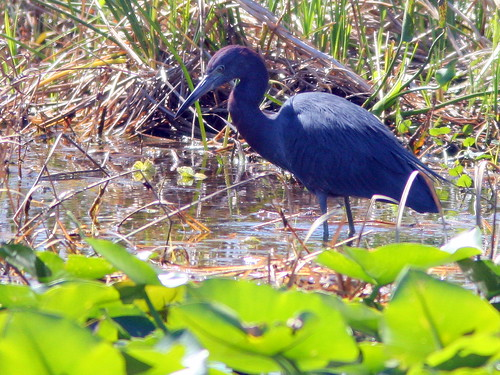 Little Blue Heron 20100228