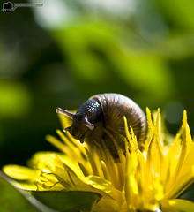Snail.. are you a Bee ??!! (tawFiQ Dif) Tags: flower macro rose nikon snail bee   d80 tawfiq