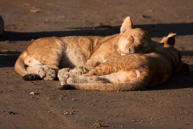 cubs sleeping