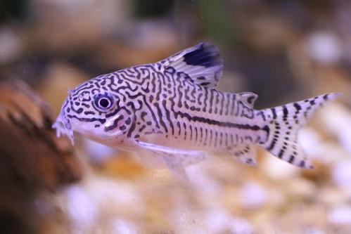 How To Feed The Bottom Feeders My Aquarium Club