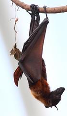 fliegender Hund, hngend (neurodoc2010) Tags: canon eos lights asia moments vampire magic places hund hanging dem auf gelsenkirchen entspannt kopf hngend fliegender pteropus naschen poliocephalus 5dmarkii