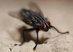 Cabeza de una mosca (Mik Chile) Tags: chile miguel canon eos rebel fuentes mosca silva xsi calama 450d mikchile