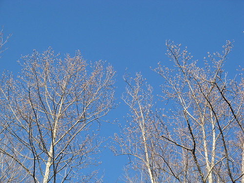 Buds against blue sky