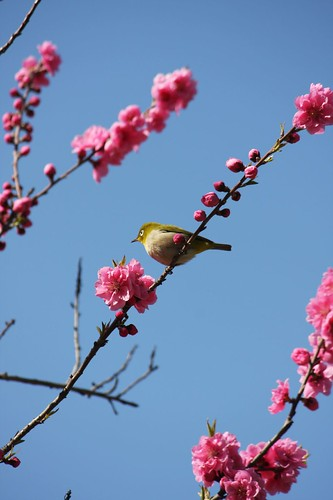 Mejiro bird enjoys the peach.