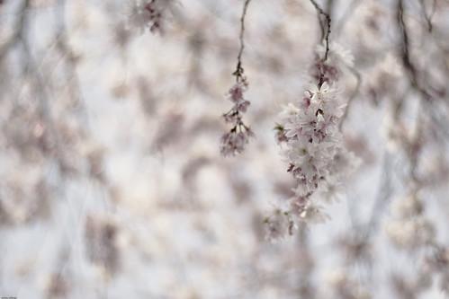 9758 - Sakura2010 #2 - Prunus subhirtella -