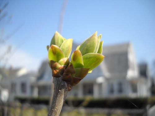 lilac leaf buds