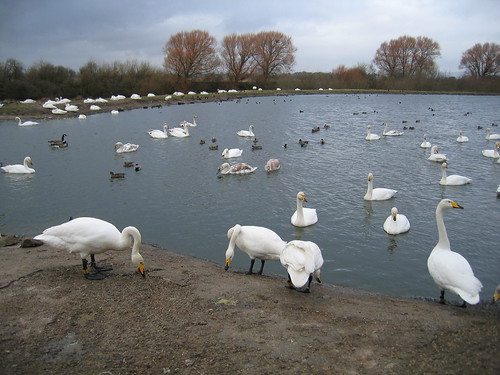 Whoopers at Caerlaverock