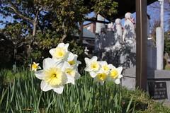 水仙 / Narcissus