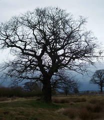 tree (arlechinna) Tags: winter storm tree grey oak shropshire telford bleak highley