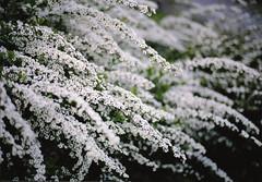 雪柳 Snow willow