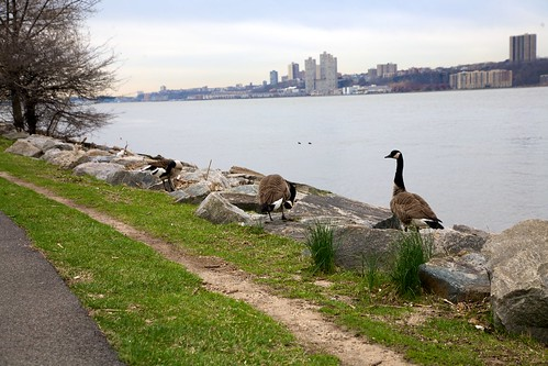 Goose at the Riverside Park
