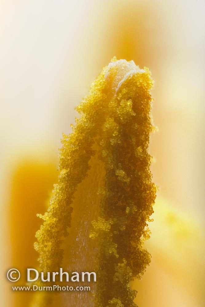 pollen covered anther filament