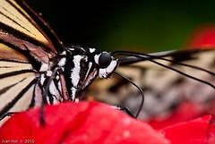 Lepidopterans - Stop Staring ! (Thru-My-Lens) Tags: park morning flowers trees macro colors closeup garden bokeh butterflies foliage motionblur malaysia penang outing 2010 blueribbonwinner supershot anawesomeshot penangbutterflyfarm nikkor105mmf28gvr dragondaggerphoto