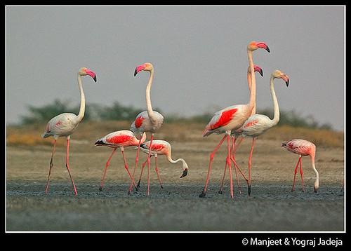 Greater and Lesser Flamingoes