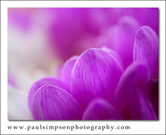 Petals and veins of a flower (Paul Simpson Photography) Tags: flowers flower color colour macro nature petals colorful dof purple bokeh sony petal lilac colourful naturalworld purpleflower naturephotography narrowdof flowerphotos sonyimage bokehwhores flowerimages photosofflowers wonderfulworldofflowers beautifulflowerpicture imagesofflowers paulsimpsonphotography flowerimagery flowerfoto