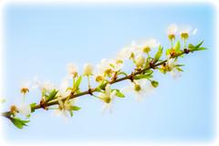 Omaggio alla Primavera (Pachibro Portfolio) Tags: flowers primavera fleurs canon eos leaf petals spring foglia fiore petali springtime 400d canoneos400d scattifotografici pasqualinobrodella pachibroportfolio pachibro
