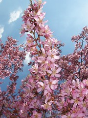 Weeping Cherry - March 29, 2010