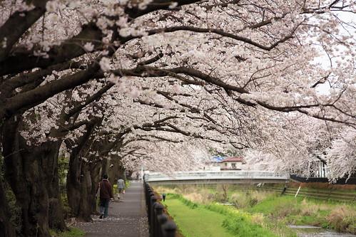 野川の桜並木 not HDR