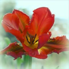 Good Friday: a VERY good Friday! :) (Vol-au-Vent) Tags: friends red rot square rouge 6ws bokeh tulip picnik tulipe goodfriday tulpe tulipmania karfreitag lrp vendredisaint anditmakesmesmile kikivolauvent allrightsreservedbykikivolauvent afirymiracle thesungrowsinyoursmilepoembylindarodriguez thankyousomuchlindawhereveryouarethismustbeoneofthemostbeautifulpoemsieverread happyeasterandhappyscarletsundayeverybody itsnotoftenthatwehaveadoublebangerlikethisredsunday j
