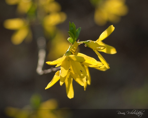 Might as Well Forsythia