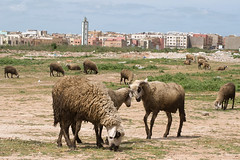 MOR_4365 (RichS85) Tags: africa sheep morocco casablanca livestock
