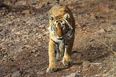 Look into my eyes (www.sandeepmall.com) Tags: wildlife wildcat rajasthan ranthambore canoneos50d royalbengaltiger tigersinindia sigma150500 sandeepmall