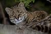 Güiña (ik_kil) Tags: chile altosdelircay regióndelmaule nachtkatze güiña kodkod huiña reservanacionalaltosdelircay especieamenazada oncifelisguigna guigna leopardusguigna chatduchili gatogüiña chilenischewaldkatze