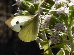 Large White Grosser Kohlweissling (Aah-Yeah) Tags: white butterfly bayern large grosser schmetterling pieris achental kohlweissling chiemgau tagfalter brassicae marquartstein