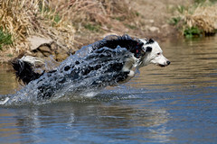 Aqua Dog (Anda74) Tags: water jumping action diving april bordercollie chatfield dogpark ouzo canonef70200mmf4lusm