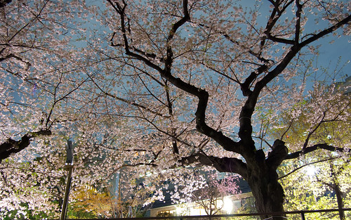 Sakura de noche