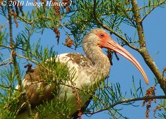 Young White Ibis (Image Hunter 1) Tags: tree eye nature birds louisiana beak ibis bayou swamp cypress marsh whiteibis lakemartin birdslouisiana cypressislandpreserve panasonicfz35 raynox2025hd22x