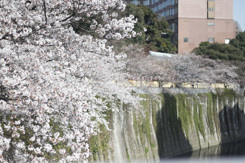 Cherry blossoms at Kanda river