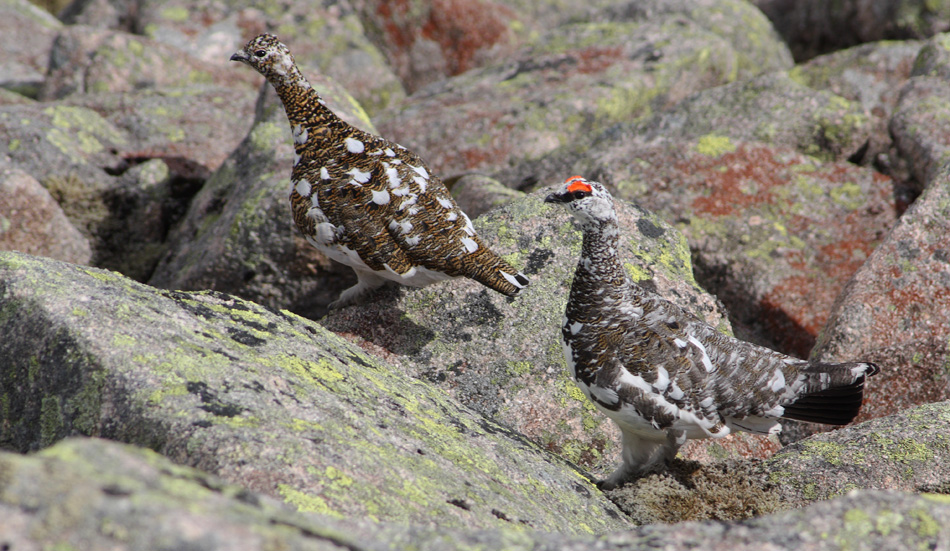 A pair of Ptarmigan, Lagopus mutus, on the Broad Cairn to Cairn Bannoch walk