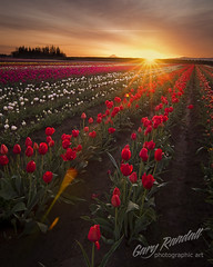 Prelude to Color (Gary Randall) Tags: morning flowers light sun field sunrise tulips farm tulip fields woodenshoe garyrandall dsc73312