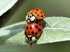 Acrobatic lovers (Selina Zampedri) Tags: macro love leaf nikon beetle foglia amore fvg friuli acrobatic coccinella marano harmonia acrobatico macromarvels beautifulmonsters axydis