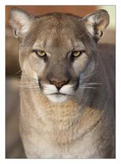 Puma (Blitzknips) Tags: portrait berlin closeup cat mammal zoo tiere sony bigcat katze puma predator tierpark cougar tier mountainlion tierparkberlin säugetier felinae itsazoooutthere groskatze flickrbigcats