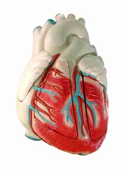 human heart (model) (tucumanarde) Tags: school hospital healthy model education heart exercise body science patient medical part human doctor anatomy medicine pulse fitness stress biology teach healthcare disease physical internal rate heartbeat physiology coronary cardiology