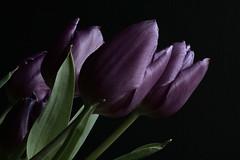 Tulips (Shot18) Tags: flower spring purple tulip mygearandme mygearandmepremium mygearandmebronze mygearandmesilver mygearandmegold mygearandmeplatinum hennysgardens