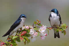 Tree Swallows (Hard-Rain) Tags: flower bird nature illinois spring wildlife aves explore naperville frontpage treeswallow tachycinetabicolor passeriformes hirundinidae dupagecounty tachycineta greenevalleyforestpreserve explore5 hirundininae