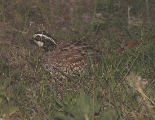 Male Common Bobwhite 2