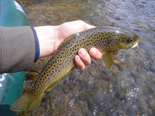 Wild Gunpowder Brown Trout
