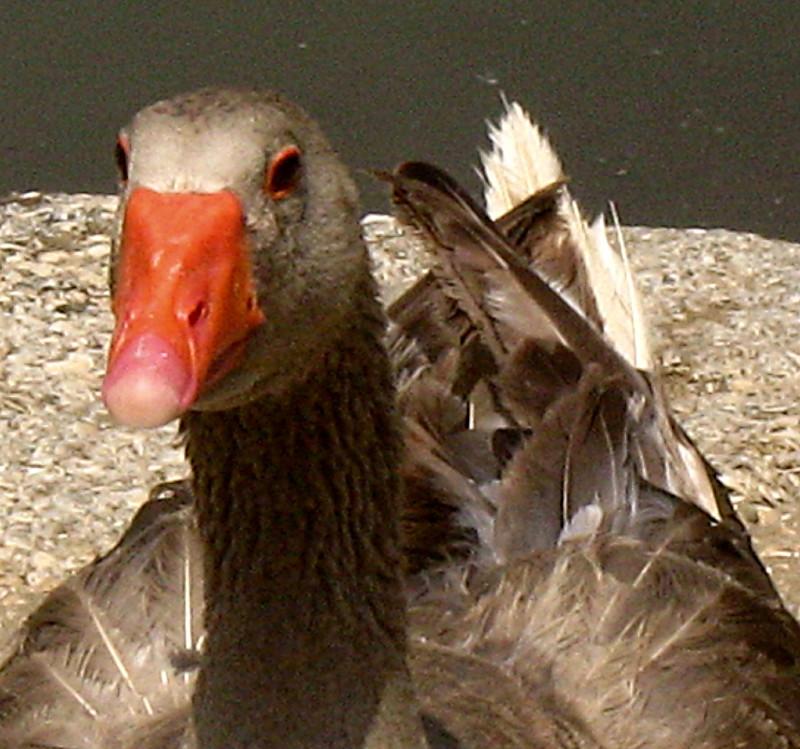 01-05-2010-duck3