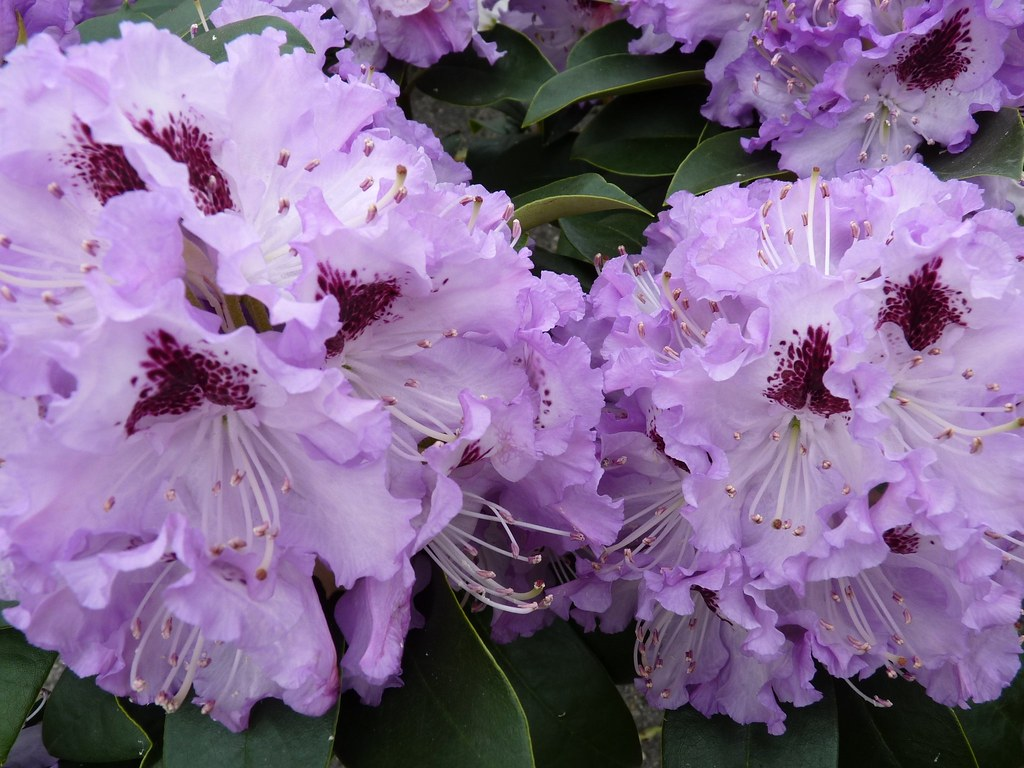 Rhododendron (The national flower of Nepal)