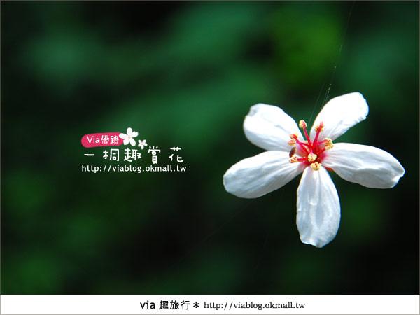 【苗栗油桐花季】苗栗頭屋~夢幻桐花步道16