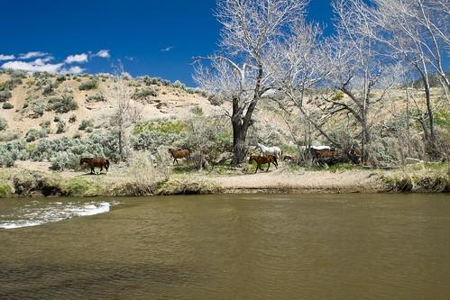 Carson River Wild Horses