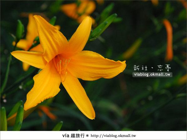 【台中休閒農場】2010金針花~新社沐心泉金針花16